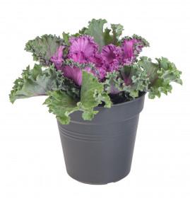 Okrasná kapusta, Brassica kudrnatá, fialová, průměr květináče 12 cm
