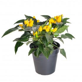 Okrasná paprička, Capsicum, žlutá, průměr květináče 10 - 12 cm
