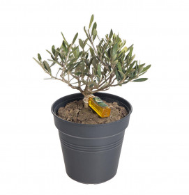 Olivovník evropský, Olea europea, průměr kontejneru 15 - 16 cm