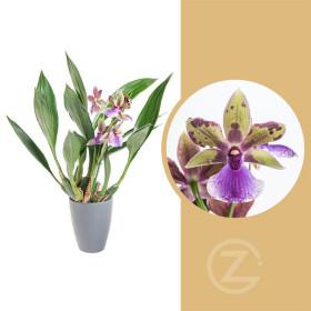 Orchidej Chomoutovka, Zygopetalum, 1 výhon