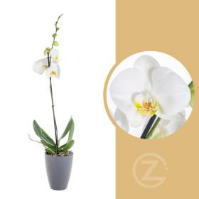 Orchidej Můrovec, Phalaenopsis, 1 výhon, bílá