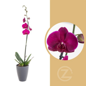 Orchidej Můrovec, Phalaenopsis, 1 výhon, fialová