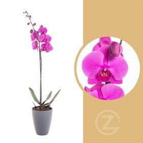 Orchidej Můrovec, Phalaenopsis, 1 výhon, růžová