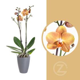 Orchidej Můrovec, Phalaenopsis Brownie, 2 výhony, oranžová