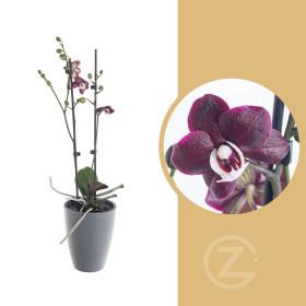 Orchidej Můrovec, Phalaenopsis Choco Paradise, 2 výhony, tmavě fialová