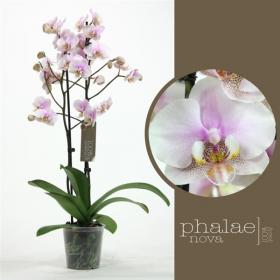 Orchidej Můrovec, Phalaenopsis Copenhagen, 2 výhony, bílo - růžová