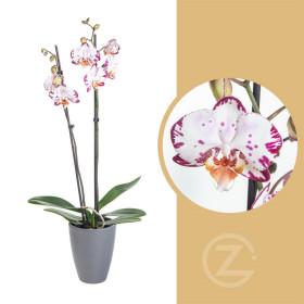 Orchidej Můrovec, Phalaenopsis Denver, 2 výhony, bílo - fialová