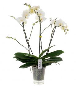 Orchidej Můrovec, Phalaenopsis EXTRA, 3 výhony, bílá