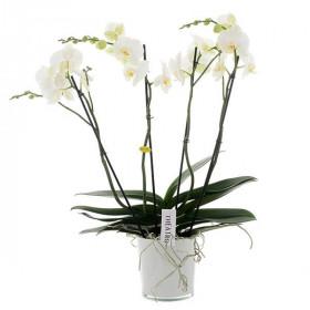 Orchidej Můrovec, Phalaenopsis EXTRA, 4 výhony, bílá