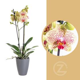 Orchidej Můrovec, Phalaenopsis Fancy Freckles, 2 výhony, žluto - vínová