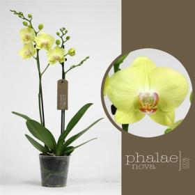 Orchidej Můrovec, Phalaenopsis Green Crystal, 2 výhony, zeleno - žlutá