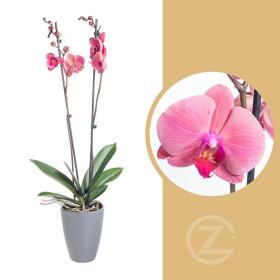 Orchidej Můrovec, Phalaenopsis Happy Angels Dream, 2 výhony, růžová