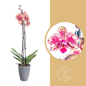Orchidej Můrovec, Phalaenopsis Isa, 2 výhony, žluto - vínová