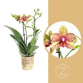 Orchidej Můrovec, Phalaenopsis Kolibri Canada, 2 výhony, žluto - červená