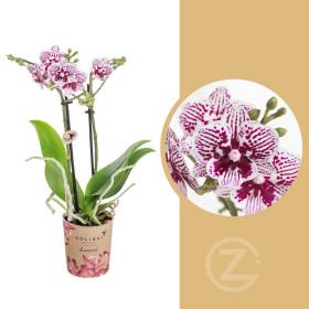 Orchidej Můrovec, Phalaenopsis Kolibri El Salvador, 2 výhony, fialovo - bílá