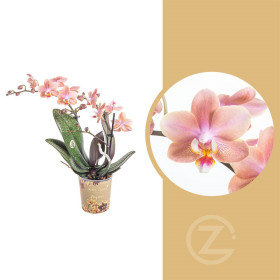 Orchidej Můrovec, Phalaenopsis Kolibri Fragrance, 2 výhony, lososová