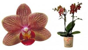 Orchidej Můrovec, Phalaenopsis Kolibri Jordan, 2 výhony, vínovo - žlutá