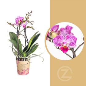 Orchidej Můrovec, Phalaenopsis Kolibri Luxembourg, 2 výhony, bílo - růžová