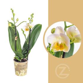 Orchidej Můrovec, Phalaenopsis Kolibri Mexico, 2 výhony, žlutá