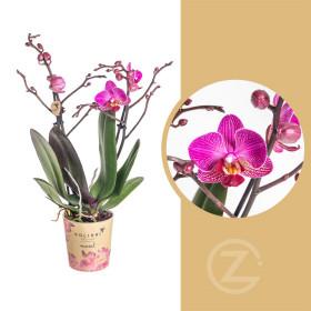 Orchidej Můrovec, Phalaenopsis Kolibri Moldavia, 2 výhony, fialová