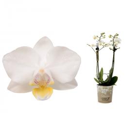 Orchidej Můrovec, Phalaenopsis Kolibri Samoa, 2 výhony, bílá