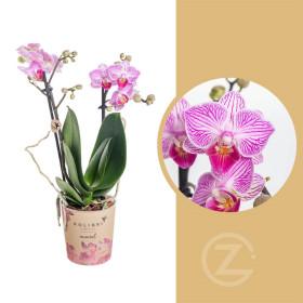 Orchidej Můrovec, Phalaenopsis Kolibri Switzerland, 2 výhony, růžovo - bílá