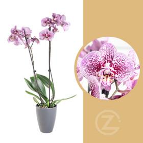 Orchidej Můrovec, Phalaenopsis Kornelia, 2 výhony, růžová