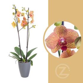 Orchidej Můrovec, Phalaenopsis Long Apollo, 2 výhony, oranžová
