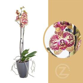 Orchidej Můrovec, Phalaenopsis Mariola, 2 výhony, žluto - vínová
