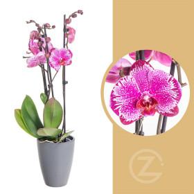 Orchidej Můrovec, Phalaenopsis Melody, 2 výhony, bílo - růžová