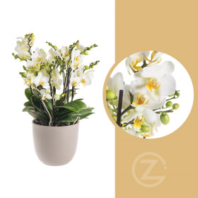 Orchidej Můrovec, Phalaenopsis multiflora Bellissimo, vícevýhonová, bílá