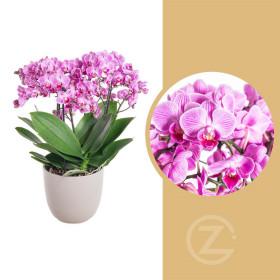 Orchidej Můrovec, Phalaenopsis multiflora Bellissimo, vícevýhonová, růžová