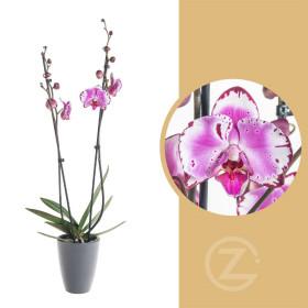 Orchidej Můrovec, Phalaenopsis Mystery, 2 výhony, bílo - fialová