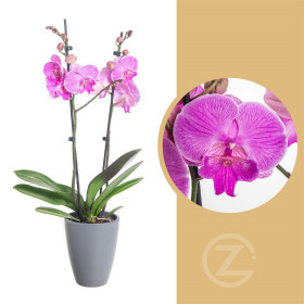 Orchidej Můrovec, Phalaenopsis Naomi, 2 výhony, růžová