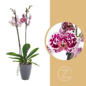 Orchidej Můrovec, Phalaenopsis Polka Dots, 2 výhony, bílo - vínová
