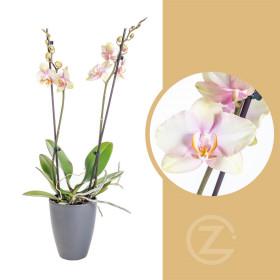 Orchidej Můrovec, Phalaenopsis Super Marry, 2 výhony, žluto - růžová