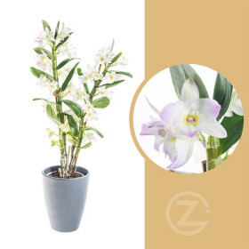 Orchidej Stromobytec, Dendrobium nobile, 2 výhon, bílo - růžová