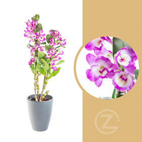Orchidej Stromobytec, Dendrobium nobile, 2 výhony, bílo - tmavě růžová