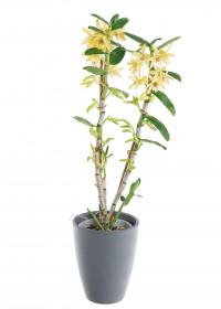 Orchidej Stromobytec, Dendrobium nobile, 2 výhony, žlutá