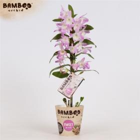 Orchidej Stromobytec, Dendrobium nobile, ROYAL, 1 výhon, bílo - růžová
