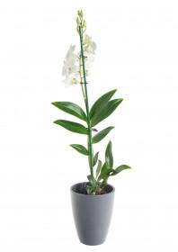 Orchidej Stromobytec, Dendrobium Sa - nook, bílá