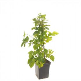 Ostružiník beztrnný, Rubus fruticosus Triple Crown, velikost kontejneru 5 l