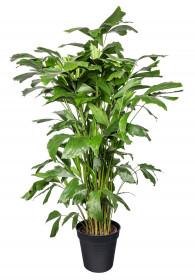 Palicha jemná, Caryota mitis, vysoká 160 - 190 cm, průměr květináče 24 cm