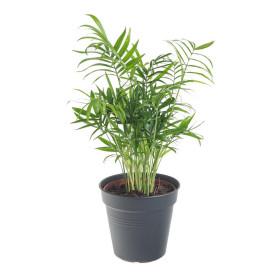 Palma horská, Chamaedorea elegans, průměr květináče 12 cm