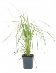 Pampová tráva, Cortaderia selloana Rosea, velikost kontejneru 2 l