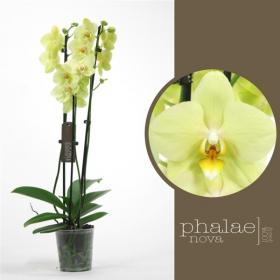 Phalaenopsis Alassio 2 výhon
