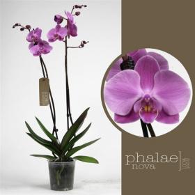 Phalaenopsis Babylon 2 výhon