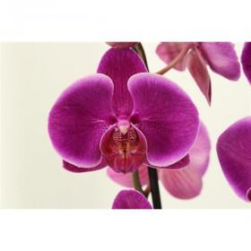 Phalaenopsis Durban 2 výhon
