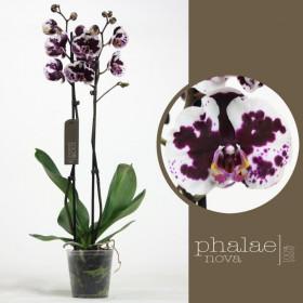 Phalaenopsis Mamon 2 výhon