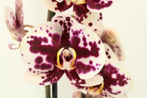 Phalaenopsis Melisa 2 výhon